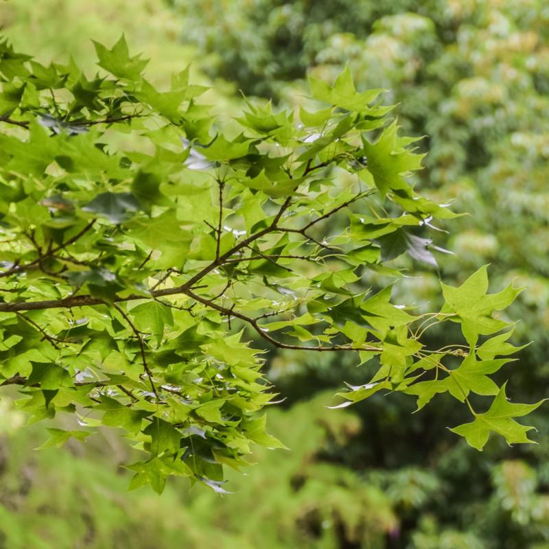 Acer truncatum de Krzysztof Golik, CC BY-SA 4.0, via Wikimedia Commons