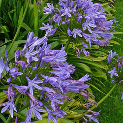 Agapanthus queen de Tim Green from Bradford, CC BY 2.0, via Wikimedia Commons
