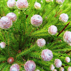 Leucadendron linifolium par Linkie de Wikimedia commons