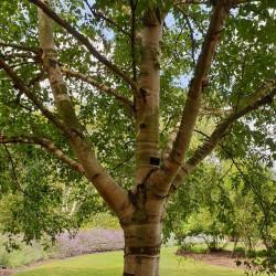 Betula pubescens de Emőke Dénes, CC BY-SA 4.0, via Wikimedia Commons