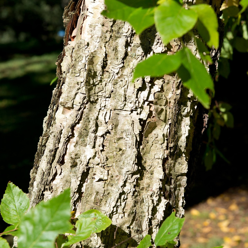 Betula davurica de Plant Image Library from Boston, USA, CC BY-SA 2.0, via Wikimedia Commons