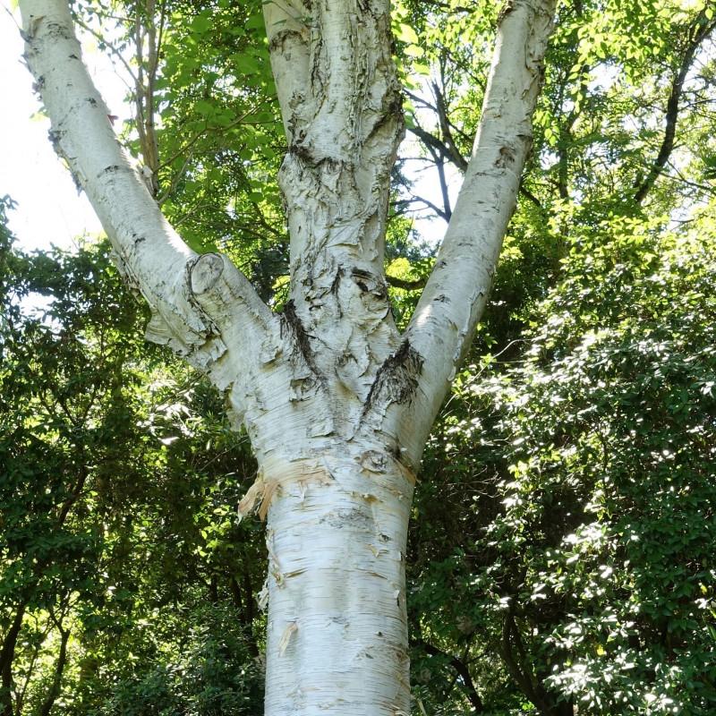 Betula utilis var. jacquemontii de Daderot, CC0, via Wikimedia Commons