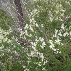 Bursia spinosa de John Tann from Sydney, Australia, CC BY 2.0, via Wikimedia Commons