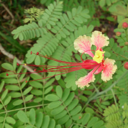 Caesalpinia pulcherrima var. rosea de Mokkie, CC BY-SA 3.0, via Wikimedia Commons