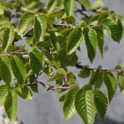 Carpinus turczaninovii de David J. Stang, CC BY-SA 4.0, via Wikimedia Commons
