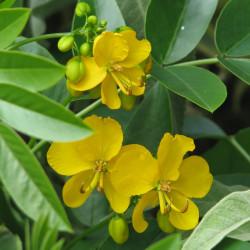 Cassia corymbosa de peganum from Henfield, England, CC BY-SA 2.0 via Wikimedia Commons