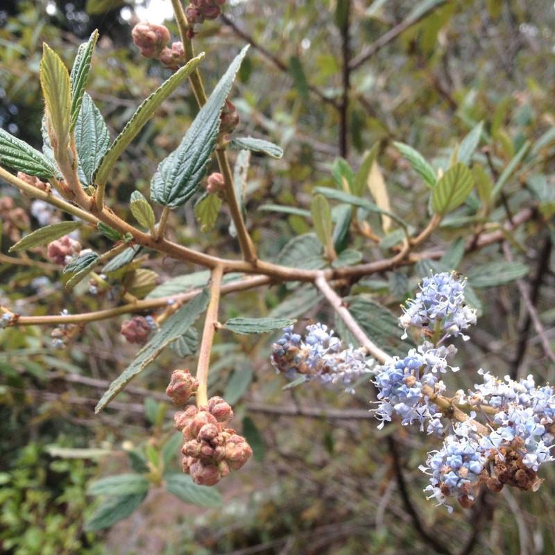 Ceanothus caeruleus de Bodofzt, CC BY-SA 4.0, via Wikimedia Commons