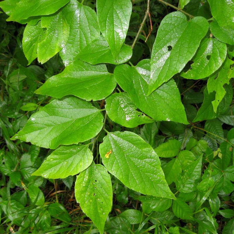 Celtis tenuifolia de Masebrock, Public domain, via Wikimedia Commons