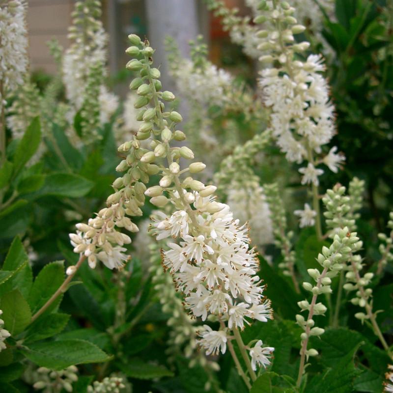 Clethra alnifolia de KENPEI, CC BY-SA 3.0, via Wikimedia Commons