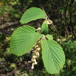 Corylopsis sinensis de Jerzy Opioła, CC BY-SA 4.0, via Wikimedia Commons