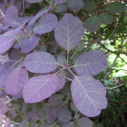 Cotinus coggygria de Wilhelm Zimmerling PAR, CC BY-SA 4.0, via Wikimedia Commons
