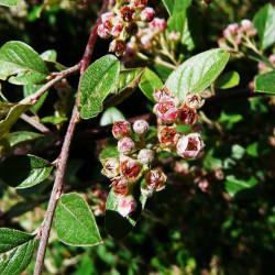 Cotoneaster Franchetii de Père Igor, CC BY-SA 3.0 via Wikimedia Commons