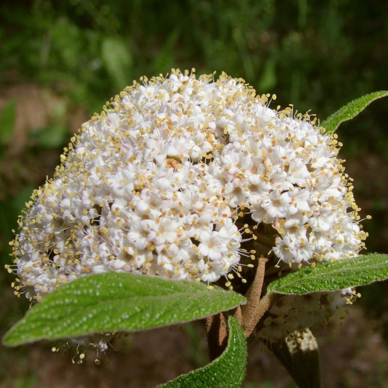 Viburnum lantana par Elstef de Pixabay