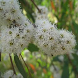 Eucalyptus radiata de John Tann from Sydney, Australia, CC BY 2.0, via Wikimedia Commons