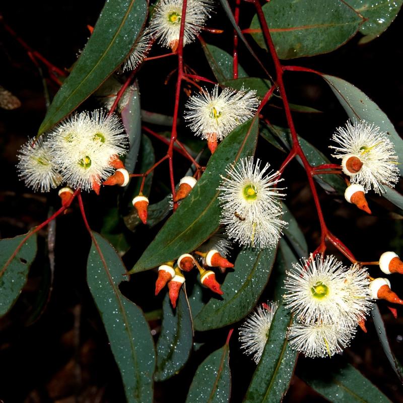 Eucalyptus marginata de Podiceps60, CC BY-SA 3.0, via Wikimedia Commons