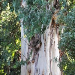 Eucalyptus viminalis de Lazaregagnidze, CC BY-SA 3.0, via Wikimedia Commons