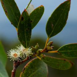 Eucalyptus subcucrenulata de Fuyomeh, CC BY-SA 4.0, via Wikimedia Commons