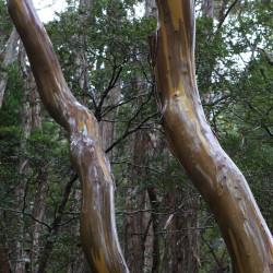 Eucalyptus subcucrenulata de brewbooks from near Seattle, USA, CC BY-SA 2.0, via Wikimedia Commons