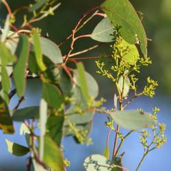Eucalyptus polyanthemos de Donald Hobern from Copenhagen, Denmark, CC BY 2.0, via Wikimedia Commons