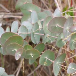 Eucalyptus cinerea de Forest & Kim Starr, CC BY 3.0 US via Wikimedia Commons
