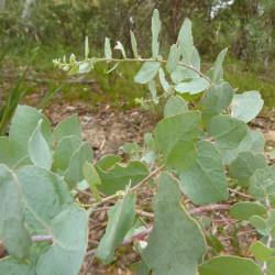 Eucalyptus bridgesiana de Donald Hobern from Copenhagen, Denmark, CC BY 2.0, via Wikimedia Commons