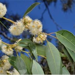 Eucalyptus notabilis de Murray Fagg, CC BY 3.0, via Wikimedia Commons