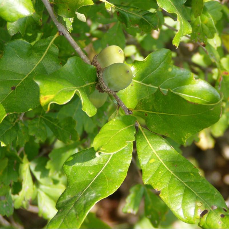 Quercus stellata par Benjamin Bruce de Wikimedia commons