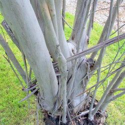 Eucalyptus kybeanensis de Poyt448 Peter Woodard, Public domain, via Wikimedia Commons