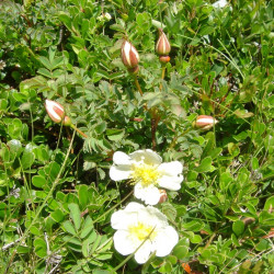 Rosa pimpinellifolia par Ghislain118 de Wikimedia commons