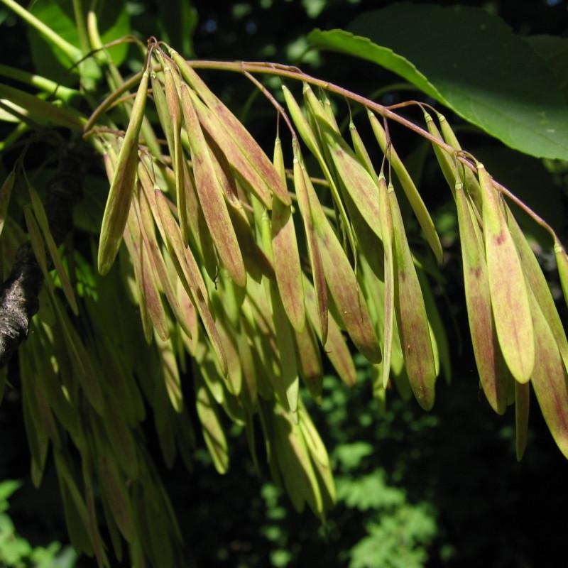 Fraxinus americana de Keith Kanoti, Maine Forest Service, USA, CC BY 3.0 US, via Wikimedia Commons