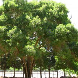 Fraxinus angustifolia de Arielinson, CC BY-SA 4.0, via Wikimedia Commons