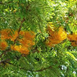 Grevillea robusta par Alvesgaspar de Wikimedia commons