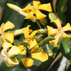 Hymenosporum flavum par Jan Smith de Brisbane, Australie de Wikimedia commons