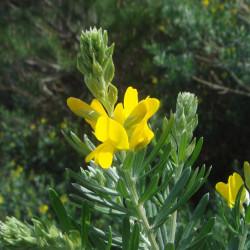 Teline linifolia de Xemenendura, CC BY-SA 3.0 via Wikimedia Commons