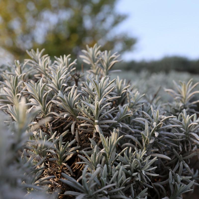 Lavandula lanata de Manfred Werner - Tsui, CC BY-SA 3.0, via Wikimedia Commons