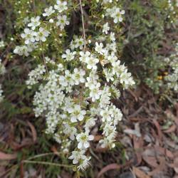 Leptospermum polygalifolium subsp. cismontanum de Geoff Derrin, CC BY-SA 4.0, via Wikimedia Commons