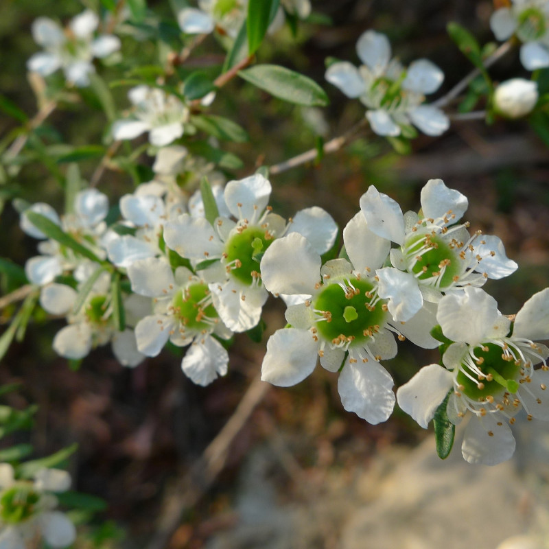 Leptospermum polygalifolium de John Tann from Sydney, Australia, CC BY 2.0, via Wikimedia Commons