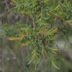 Leptospermum polygalifolium de Mark Marathon, CC BY-SA 4.0, via Wikimedia Commons