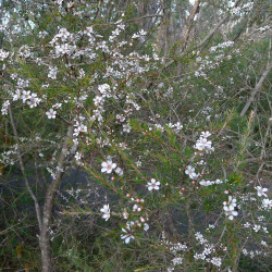Leptospermum squarrosum de John Tann from Sydney, Australia, CC BY 2.0, via Wikimedia Commons