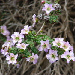 Leptospermum rotundifolium de Forest & Kim Starr, CC BY 3.0 US, via Wikimedia Commons