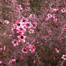 Leptospermum scoparium de KENPEI, CC BY-SA 3.0, via Wikimedia Commons