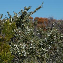 Leptospermum laevigatum de Doug Beckers from Killcare Heights, Australia, CC BY-SA 2.0, via Wikimedia Commons