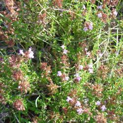Thymus hyemalis par Retama de Wikimedia commons