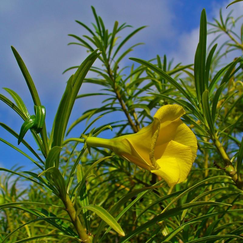 Thevetia peruviana par H. Zell de Wikimedia commons