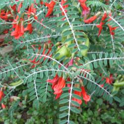 Sutherlandia frutescens par Christian Hummert  de Wikimedia commons