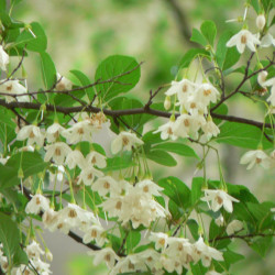 Styrax japonica sur Wikimedia commons