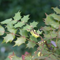 Mahonia japonica de Rolf Engstrand, CC BY-SA 3.0, via Wikimedia Commons