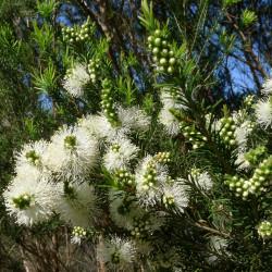 Melaleuca ericifolia de John Tann from Sydney, Australia, CC BY 2.0, via Wikimedia Commons
