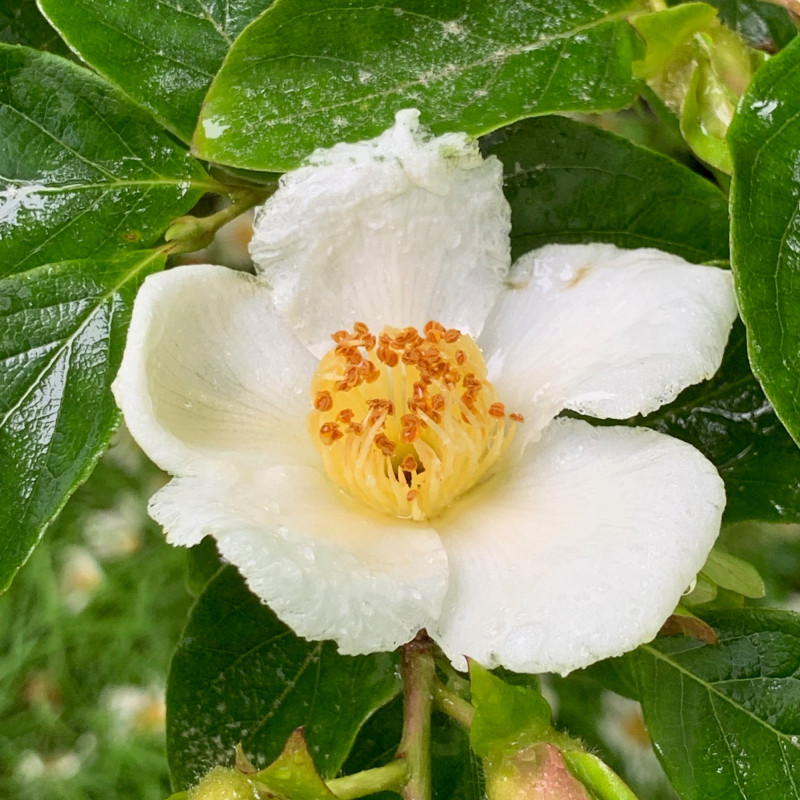 Stewartia sinensis par KATHERINE WAGNER-REISS de Wikimedia commons