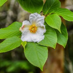 Stewartia pseudocamellia par Krzysztof Golik de Wikimedia commons